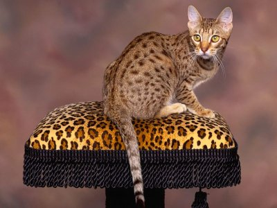Spotted_Chocolate_Ocicat.jpg